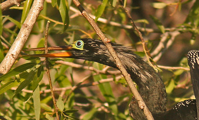 Anhinga with branch for nest (Venice Rookery) Venice Florida
