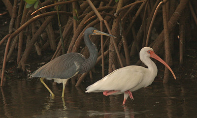 Tri-Colored Heron and White Ibis, Ding Darling Refuge, Sanibel, Florida