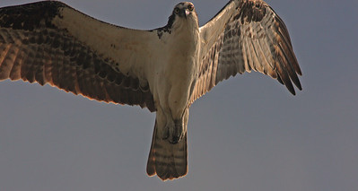 Osprey Overhead, Ding Darling, Sanibel