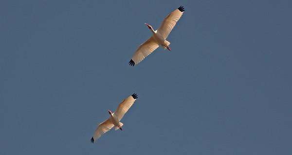 White Ibis in flight, Myakka State Park