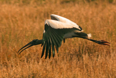 Wood Stork in flight, Sarasota Florida
