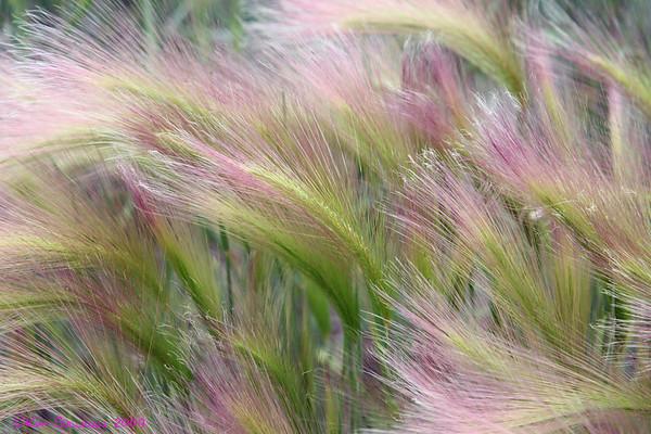 Foxtail Barley