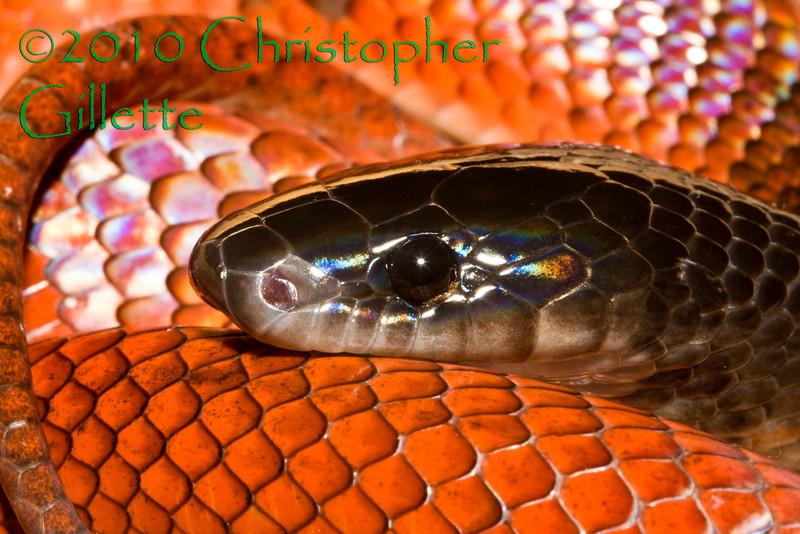 Psuedoboa coronata b
