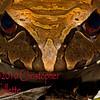 Leptodactylus pentadactylus 2