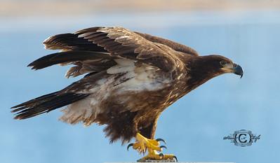 Eagle taking a break