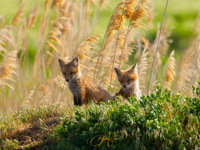 Red fox pups. Northern Utah