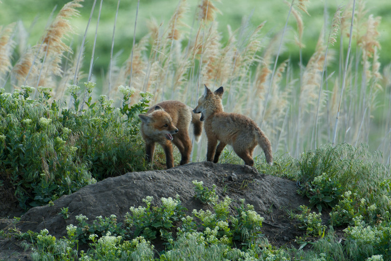 Early morning warm up game. Kit fox in Northern Utah