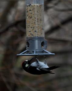 acron woodpecker