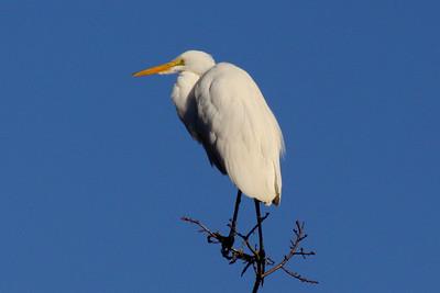 Great Egret across the street