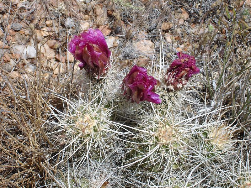 cactus hedgehog