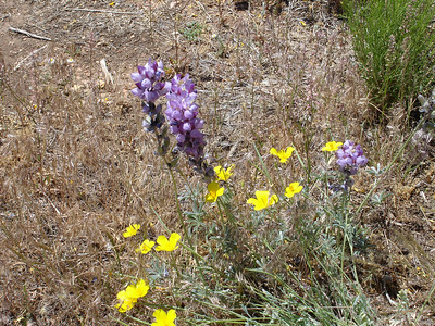 Iris, poppies