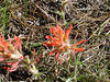 Indian Paint Brush. It uses another<br /> plants' roots.