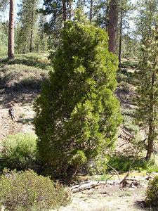 Incense Cedar