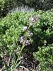 Poodledog bush