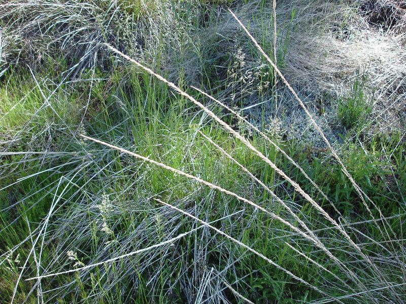 Grasses & Sedge