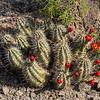 Claret's Cup cactus.