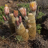 Rainbow Cactus.