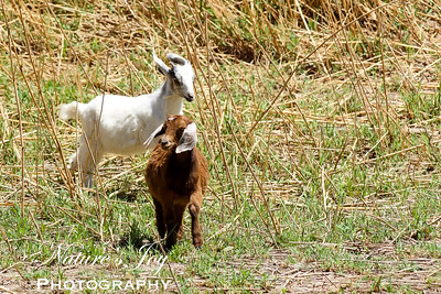 Mexican Goats