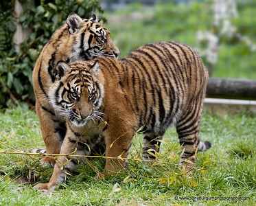 Bengal male Tiger cubs around 9 months old
