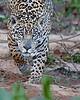 "This photograph of a stalking Jaguar was captured in the Pantanal area of Brazil (8/12).  <FONT COLOR=""RED""><h5>This photograph is protected by the U.S. Copyright Laws and shall not to be downloaded or reproduced by any means without the formal written permission of Ken Conger Photography.<FONT COLOR=""RED""></h5>"