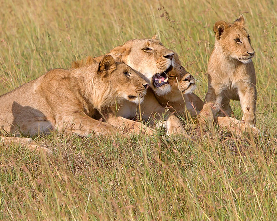 This photograph of a Lion group was captured within the Maasai Mara in Kenya, Africa (3/13).   This photograph is protected by the U.S. Copyright Laws and shall not to be downloaded or reproduced by any means without the formal written permission of Ken Conger Photography.