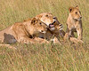 "This photograph of a Lion group was captured within the Maasai Mara in Kenya, Africa (3/13).   <FONT COLOR=""RED""><h5>This photograph is protected by the U.S. Copyright Laws and shall not to be downloaded or reproduced by any means without the formal written permission of Ken Conger Photography.<FONT COLOR=""RED""></h5>"
