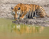 """This photograph of a drinking Bengal Tiger was captured within Bandhavgarh National Park, India (4/13).   <FONT COLOR=""""RED""""><h5>This photograph is protected by the U.S. Copyright Laws and shall not to be downloaded or reproduced by any means without the formal written permission of Ken Conger Photography.<FONT COLOR=""""RED""""></h5>"""