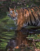"This photograph of a Bengal Tiger was captured in Bandhavgrah National Park, India (5/14). <FONT COLOR=""RED""><h5>This photograph is protected by the U.S. Copyright Laws and shall not to be downloaded or reproduced by any means without the formal written permission of Ken Conger Photography.<FONT COLOR=""RED""></h5>"