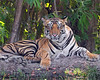 """This photograph of a Bengal Tiger was captured within Bandhavgarh National Park, India (4/13).   <FONT COLOR=""""RED""""><h5>This photograph is protected by the U.S. Copyright Laws and shall not to be downloaded or reproduced by any means without the formal written permission of Ken Conger Photography.<FONT COLOR=""""RED""""></h5>"""