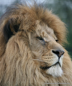 Male Lion, 1 of 3 brothers in the same cage.