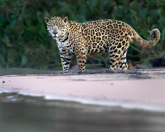 "This photograph of a Jaguar was captured in the Pantanal area of Brazil (8/12).  <FONT COLOR=""RED""><h5>This photograph is protected by the U.S. Copyright Laws and shall not to be downloaded or reproduced by any means without the formal written permission of Ken Conger Photography.<FONT COLOR=""RED""></h5>"