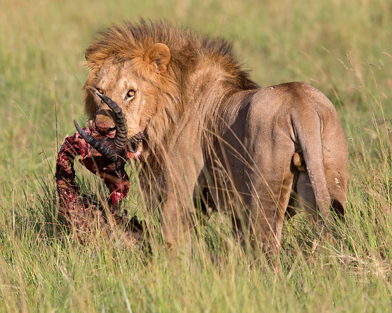 This photograph of a male Lion with a recent Topi kill was captured within the Masai Mara in Kenya, Africa (6/13).   This photograph is protected by the U.S. Copyright Laws and shall not to be downloaded or reproduced by any means without the formal written permission of Ken Conger Photography.