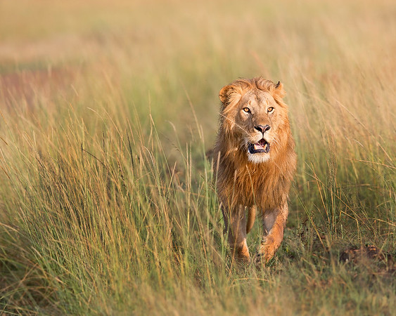 This male Lion hunting photograph was captured within the Maasai Mara in Kenya, Africa (3/13).   This photograph is protected by the U.S. Copyright Laws and shall not to be downloaded or reproduced by any means without the formal written permission of Ken Conger Photography.