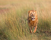 "This male Lion hunting photograph was captured within the Maasai Mara in Kenya, Africa (3/13).   <FONT COLOR=""RED""><h5>This photograph is protected by the U.S. Copyright Laws and shall not to be downloaded or reproduced by any means without the formal written permission of Ken Conger Photography.<FONT COLOR=""RED""></h5>"