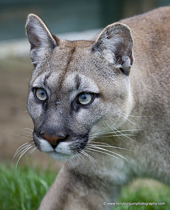 This is Viktotia, a puma, cougar or mountain lion, you choose. She is absolutely stunning and played up for the cameras beautifully.