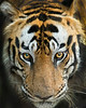 """This photograph of a Bengal Tiger was captured in Bandhavgrah National Park, India (5/14). <FONT COLOR=""""RED""""><h5>This photograph is protected by the U.S. Copyright Laws and shall not to be downloaded or reproduced by any means without the formal written permission of Ken Conger Photography.<FONT COLOR=""""RED""""></h5>"""
