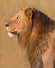 "This male Lion photograph was captured within the Maasai Mara in Kenya, Africa (3/13).   <FONT COLOR=""RED""><h5>This photograph is protected by the U.S. Copyright Laws and shall not to be downloaded or reproduced by any means without the formal written permission of Ken Conger Photography.<FONT COLOR=""RED""></h5>"