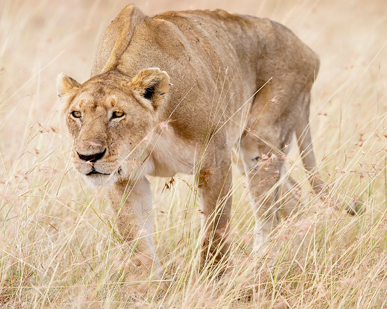 This photograph of a hunting female Lion was captured in Kenya, Africa (2/12).   This photograph is protected by the U.S. Copyright Laws and shall not to be downloaded or reproduced by any means without the formal written permission of Ken Conger Photography.
