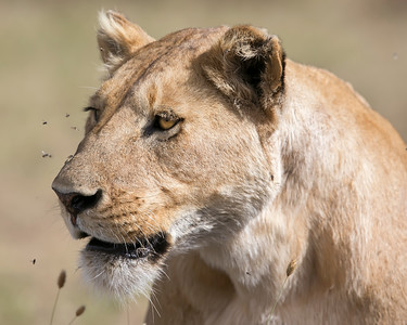 Sweetwaters Lion