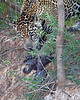"""Last 3 Seconds of Life"". This photograph of a Jaguar about to make a kill of a baby Limpkin was captured in the Pantanal, Brazil (8/11).  <FONT COLOR=""RED""><h5>This photograph is protected by the U.S. Copyright Laws and shall not to be downloaded or reproduced by any means without the formal written permission of Ken Conger Photography.<FONT COLOR=""RED""></h5>"