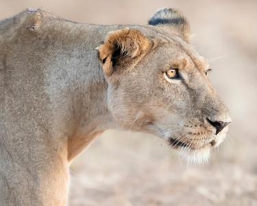 Samburu Lion