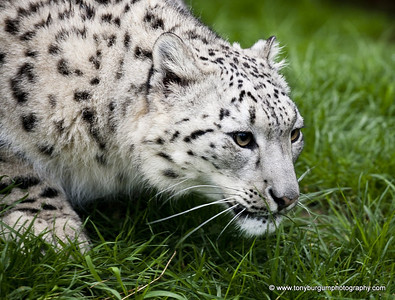 Snow Leopard and a rather feisty one at that.