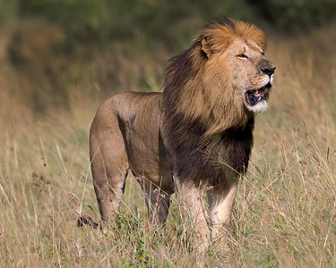 With the wind blowing in his face, this photograph of a male Lion was captured within the Masai Mara in Kenya, Africa (6/13).   This photograph is protected by the U.S. Copyright Laws and shall not to be downloaded or reproduced by any means without the formal written permission of Ken Conger Photography.