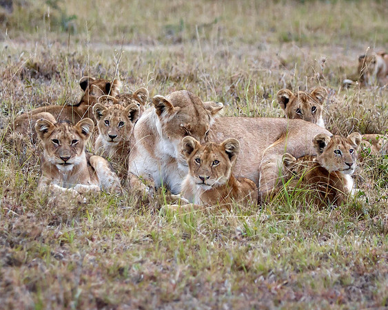 This photograph of a pride of Lions was captured in Kenya, Africa (3/11).       This photograph is protected by the U.S. Copyright Laws and shall not to be downloaded or reproduced by any means without the formal written permission of Ken Conger Photography.