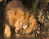 """This photograph of two male Lions was captured within the Maasai Mara in Kenya, Africa (3/13).   <font color=""""RED""""><h5>This photograph is protected by the U.S. Copyright Laws and shall not to be downloaded or reproduced by any means without the formal written permission of Ken Conger Photography.<font color=""""RED""""></font></h5></font>"""