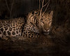 "This night photograph by spotlight of a Leopard was captured in Bera, India (5/14). <FONT COLOR=""RED""><h5>This photograph is protected by the U.S. Copyright Laws and shall not to be downloaded or reproduced by any means without the formal written permission of Ken Conger Photography.<FONT COLOR=""RED""></h5>"