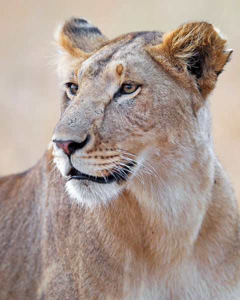This photograph of a female lion was captured in Kenya, Africa (2/12).   This photograph is protected by the U.S. Copyright Laws and shall not to be downloaded or reproduced by any means without the formal written permission of Ken Conger Photography.