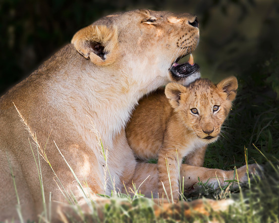 This photograph of a Lion mother and her cub was captured within the Maasai Mara in Kenya, Africa (3/13).   This photograph is protected by the U.S. Copyright Laws and shall not to be downloaded or reproduced by any means without the formal written permission of Ken Conger Photography.