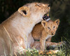 """This photograph of a Lion mother and her cub was captured within the Maasai Mara in Kenya, Africa (3/13).   <font color=""""RED""""><h5>This photograph is protected by the U.S. Copyright Laws and shall not to be downloaded or reproduced by any means without the formal written permission of Ken Conger Photography.<font color=""""RED""""></font></h5></font>"""