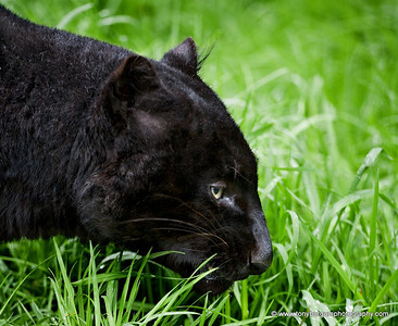There is no such thing as a black Panther. It is a Black Leopard.